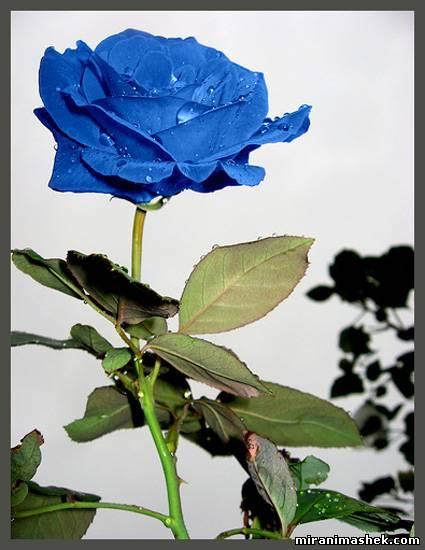 Картинки Розы синие романтические, про любовь. красивые Картинки Розы...