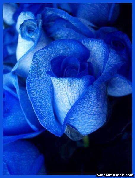 Роза синяя Картинки, рисунки